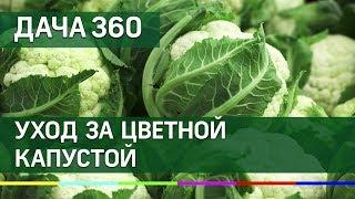 Фото Ухаживаем за цветной капустой - ДАЧА 360