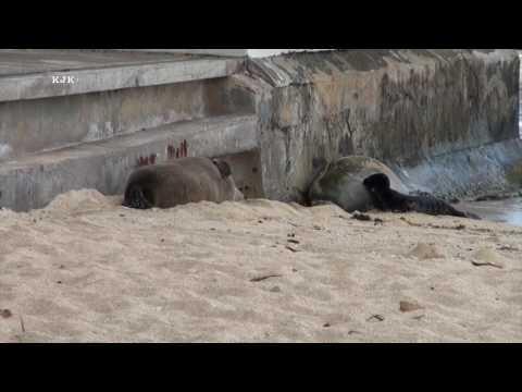 Waikiki Hawaiian Monk Seal Baby July 4 2017