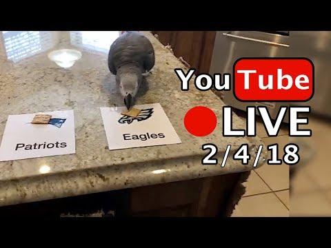 🔴🐦Einstein Parrot LIVE! 2/4/18 Super Bowl Prediction