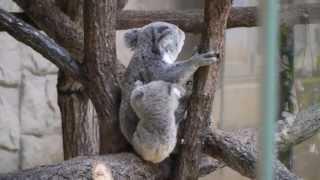 2013年4月10日東山動植物園で撮影。コアラのティアラとその子供(2012年8...
