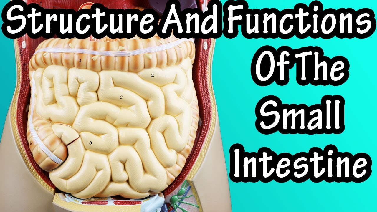 Structure Of The Small Intestine Functions Of The Small Intestine