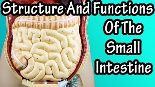 Structure Of The Small Intestine - Functions Of The Small Intestine - What Are Villi