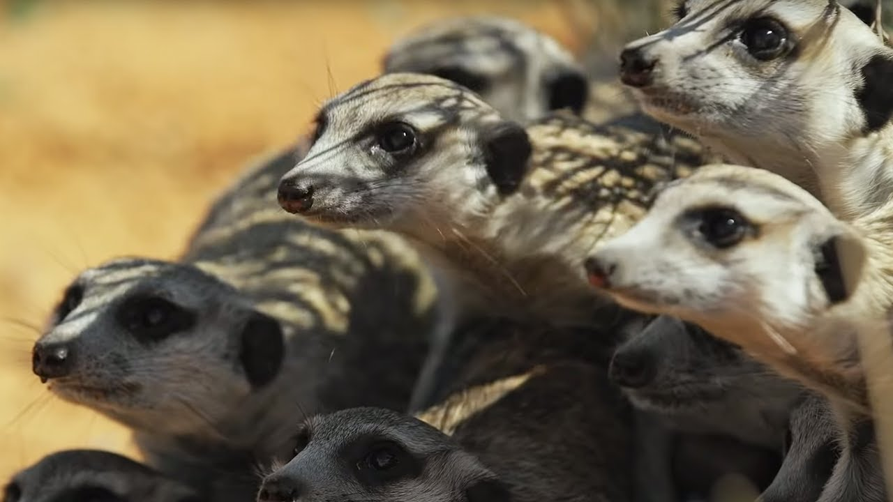 Meerkat Gang vs. Robot Cobra | Spy In The Wild | BBC Earth - YouTube