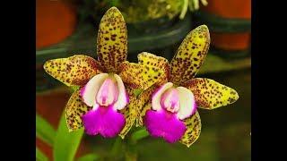 ЭКЗОТИК красивые орхидеи HERMOSAS Orquideas Flores цветы фото
