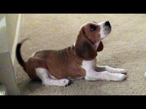 11 Week Old Beagle Puppy (Sit, Down, Drop It)