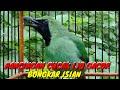Cucak Ijo Gacor Bongkar Isian Ngetrok Pancingan Cucak Ijo Full Isian  Mp3 - Mp4 Download