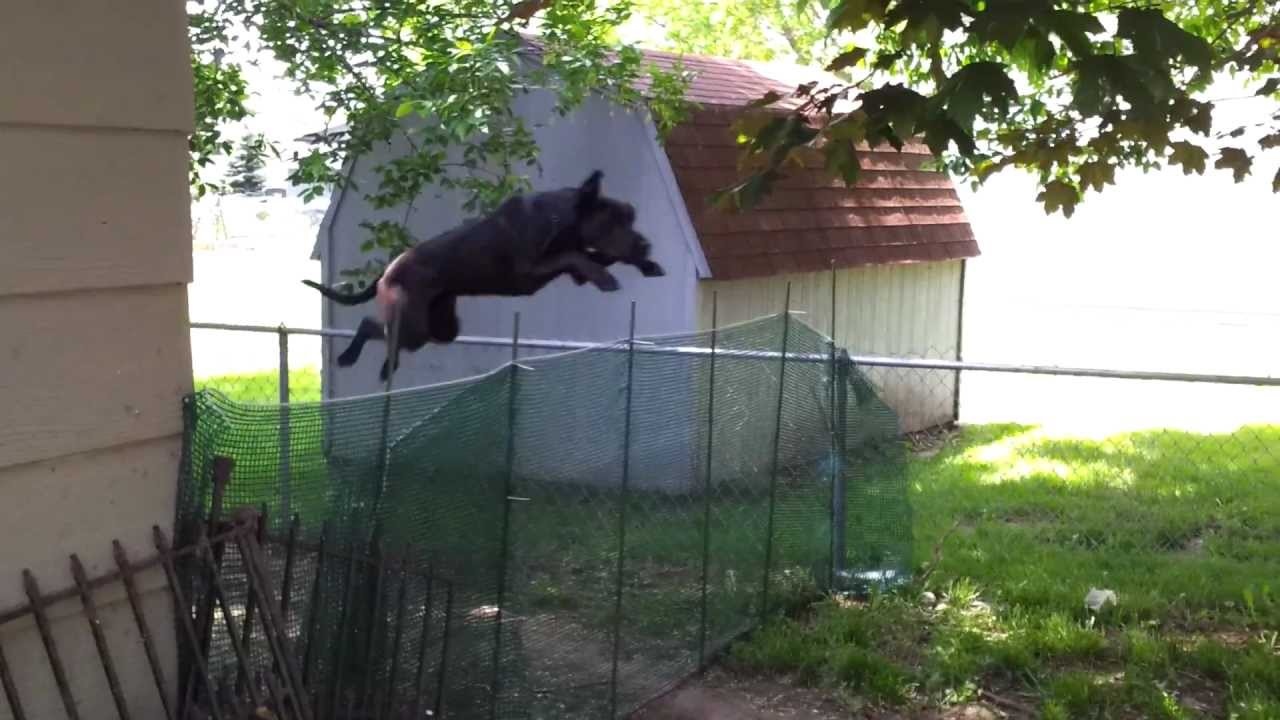 Great Dane Hurdles 4 Fence Youtube