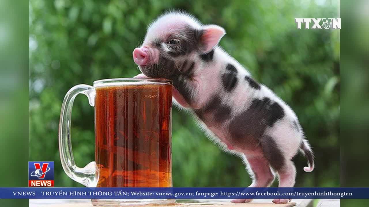 Kiểm soát chặt việc buôn bán lợn cảnh mini