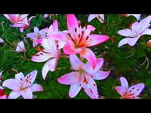 Лилии. Королевские Лилии. Футаж Цветы. Футажи для видеомонтажа