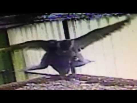Copulating Peregrine Falcons-Geroen De Smet BELGIUM