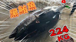 如何處理黑鮪魚224公斤巨型黑鮪魚的切割技巧 船長熱情招待吃起來《成功漁港》2020/05/14