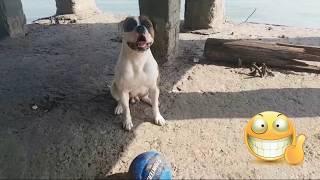 Серега играет в футбольчик / бульдог плавает / American bulldog / водный футбол/ тренировка о породе