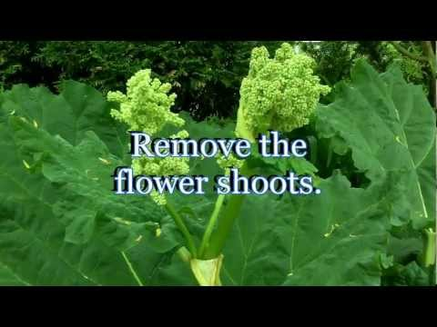 Growing Rhubarb Secret To Maximum Production - Care And Harvesting (Gardening Tips)