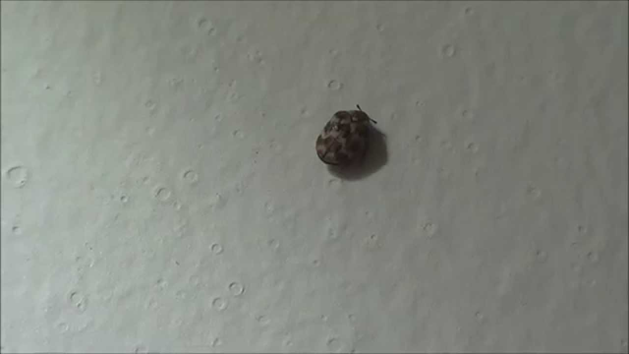 Tiny Carpet Beetle