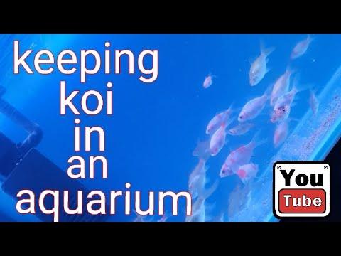 How To Keep Koi In An Aquarium - PART 2!