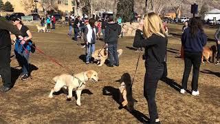 Gambar cover Golden Retriever Day February 3 2019 Golden Colorado