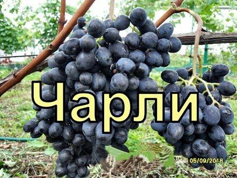 Виноград Беларуси. Лидчина . Сорт винограда - Чарли ( Антрацит)
