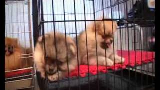 Pet Lover By Jerhigh : Nun Pomeranian Kennel