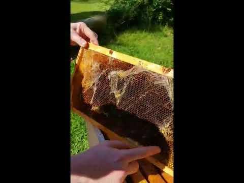 Beehive Postmortem - Hive Beetle Larvae