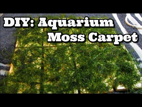 DIY Moss Carpet Aquarium - Java Moss