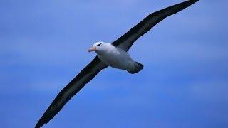 Странствующий альбатрос - Wandering Albatross (Энциклопедия животных)
