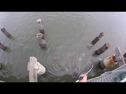 18 Inch Flounder/fluke Off The Cape Henlopen Fishing Pier 8/14/17