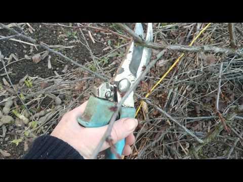 Весенняя обрезка войлочной вишни