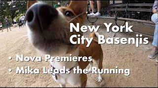 Nova Premieres; Mika Leads the Running  New York City Basenji Gathering  13 September 2020