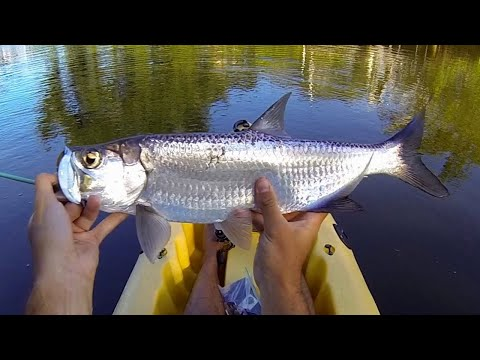 MICRO TARPON Fishing with LIVE Shrimp in Florida Canal