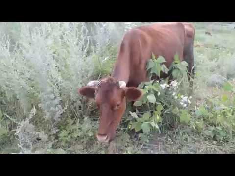Корова марихуана марихуана вызывает рак легких