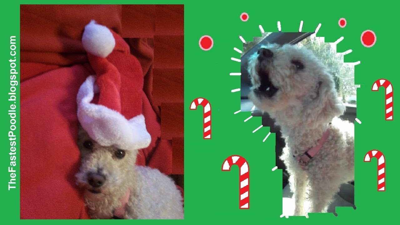 Dog Sings Jingle Bells - The Fastest Poodle - An Amazing Rescue ...