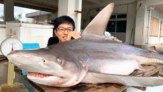 オオメジロザメのお腹から子鮫がボトリ...漁師のサメを刺身で食う方法!