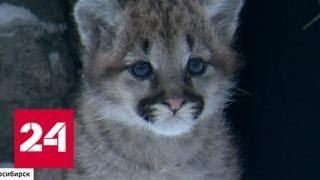 Рождение пум стало главной сенсаций новосибирского зоопарка - Россия 24