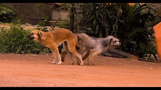 How To Spend Your Time With lovely Dogs during Mating//The Village Dogs Playing With a Group #34