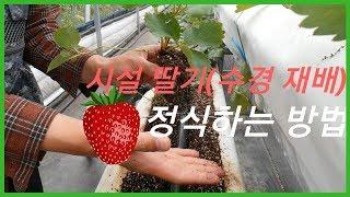 [딸기 일지#2] 딸기 정식하는 방법(수경 재배)/정식…