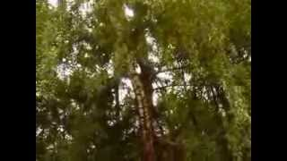 http://www.mathstrength.com - Mesteacan -Arborele medicinal -Farmacia naturii
