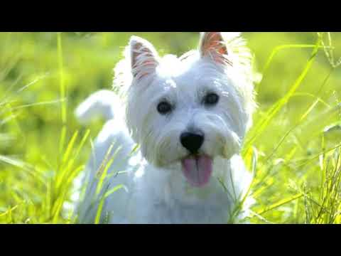 West Highland White Terrier - small dog breed