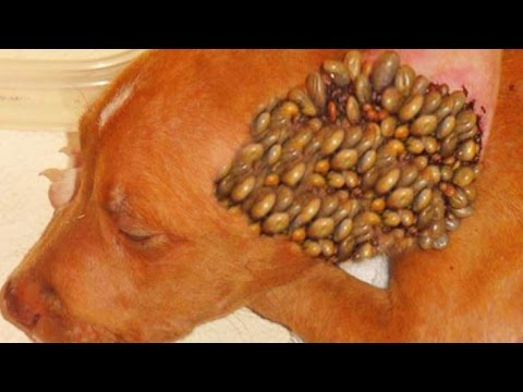 Popping Ticks, Parasites, Dog Ticks & Fleas!