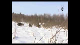 Schwarzwild Drückjagd in Belarus