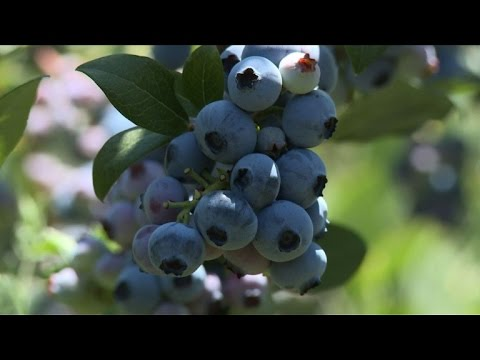 Chilean blueberry farmers struggle after chilly spring season