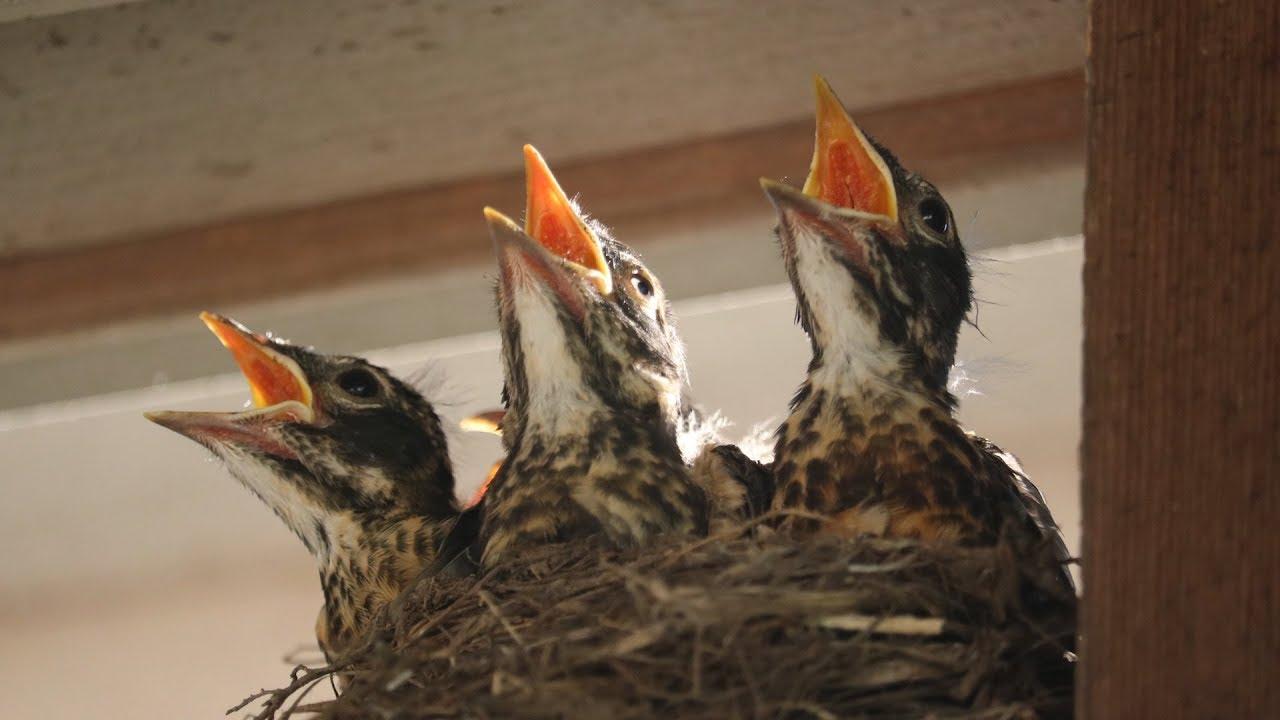 Baby Robins: Feeding to First Flight & Leaving Nest (HD ...