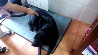 Mi Labrador Retriever, Más Allá De La Paciencia