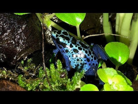 10 Gallon Vivarium Build Part 6: Frogs are Here! - YouTube 10 Gallon Dart Frog Vivarium
