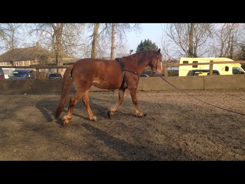 How To Tack Up For Lunging (Roller & Side Reins)