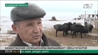 Казахстанские гигантские Эдильбаевские овцы.