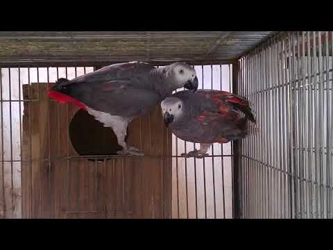 Red Factor African Grey Parrot Pair   Red factor Congo African Grey Parrot For Sale