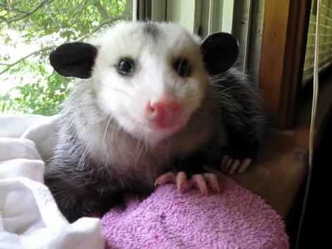 Possum eating strawberry
