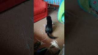 Смешные кошки. Сфинкс и метис.