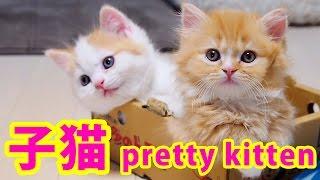 マンチカン親子の母の愛~ A cat mom hugs her kittens (munchkin) ~ thumbnail