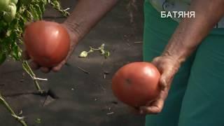 Перспективные сорта томатов в Сибири.Знакомство с овощами сибирской селекции:Томаты Батяня и Княгиня